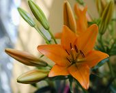 foto of orange blossom  - Detail of orange lily flower with buds - JPG