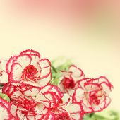 stock photo of carnation  - Carnation flowers over the blurred vintage background - JPG