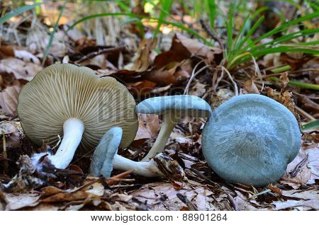 Aniseed Funnel Mushrooms