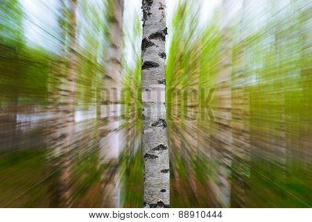 Trunk Of Birch Tree In Spring