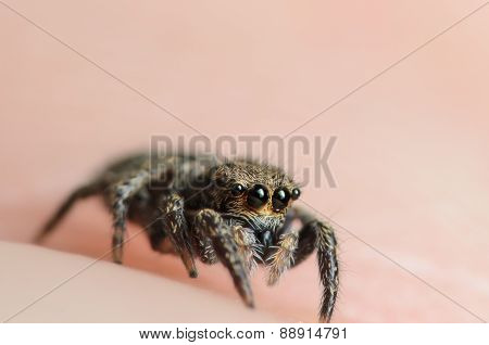 Bold Jumper Phiddipus Audax Jumping Spider