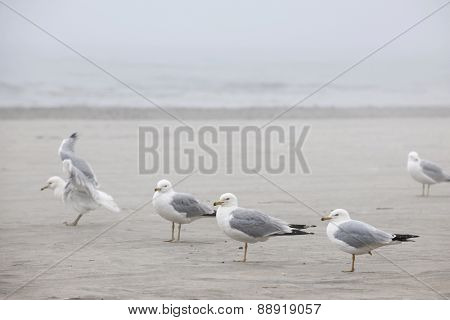 Several seagulls standing on sandy foggy beach
