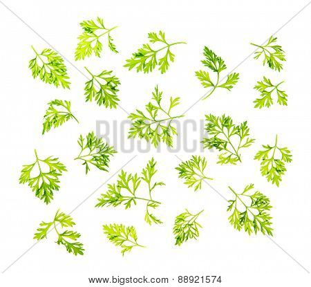 Top view scattered fresh dill leaves, isolated on white background.