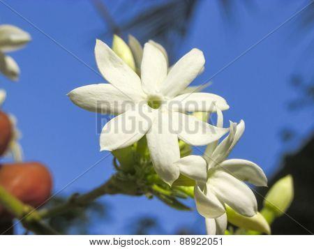 Jasmin Flower