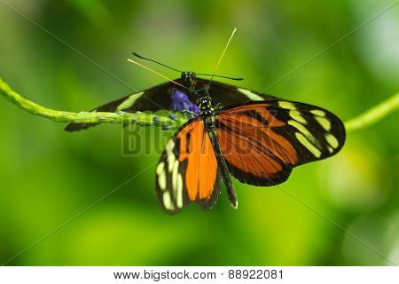 Isabellea longwing and Postman butterflies