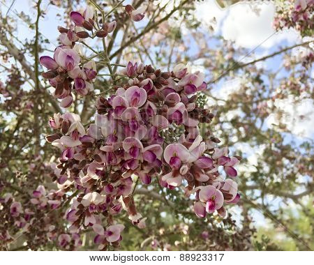 Blossom of Orchid Tree, Close Up