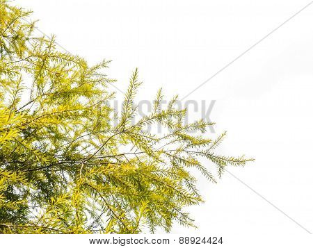 Green Leaves, Weeping Willow Tree