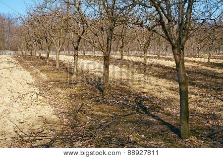 Rows Of Plum Trees In An Orchard