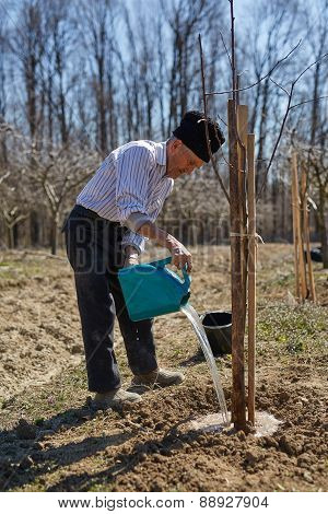 Senior Farmer Planting A Plum Tree