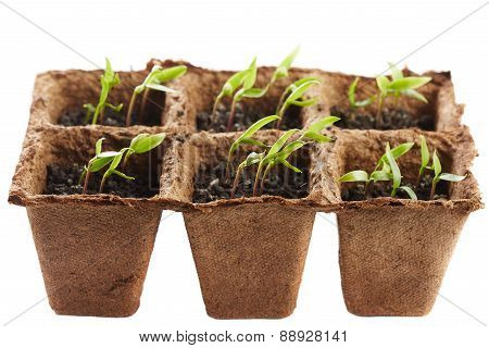 Pepper Seedlings In A Nursery