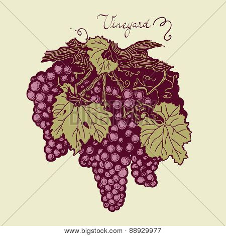 Bunch of grapes with leaves and tendrils, vineyard hand drawing logo, vector, color version