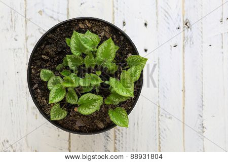 Potted Green Leaves Young Plant In Black Pot White Background