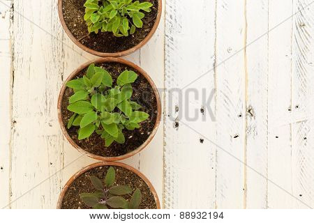 Purple, Common And Golden Sage Bushes Clay Pots White Background