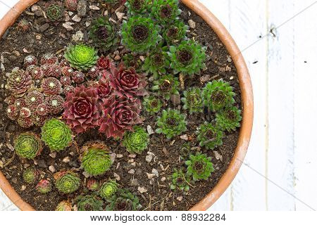 Alpine Garden Sedum Collection White Background