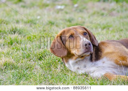 Sleepy Mixed Breed Dog In The Grass