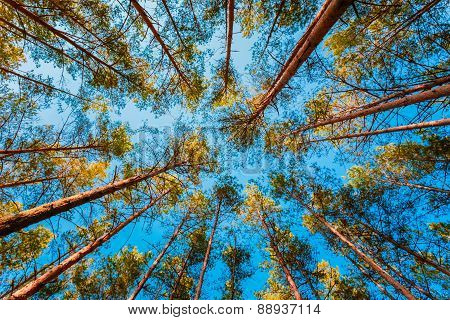 Looking Up In Spring Pine Forest Tree To Canopy