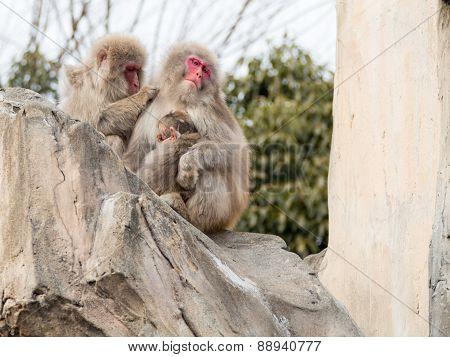 Family Of Japanese Monkeys