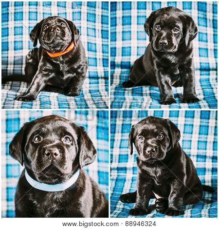 Set Collage Beautiful Black Labrador Puppy Dog Sitting On Blue P