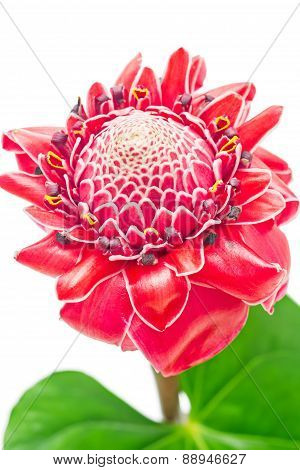 Close Up Tropical Pink Torch Ginger Flower Etlingera Elatior Isolated On White Background