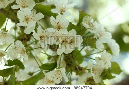 White Blossoming Fruit Tree Cherry