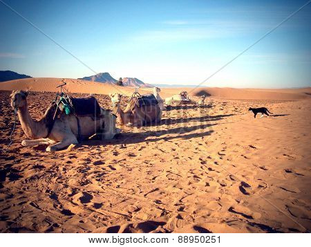 Camels and a cat in the Sahara desert