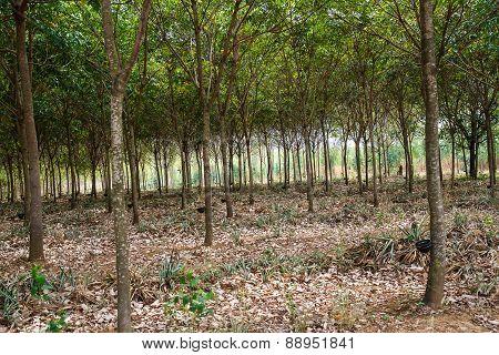 Thailand's rubber plantations