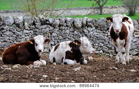 calves cow in rearing livestock