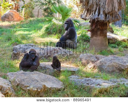 Family Of Gorilla Monkeys