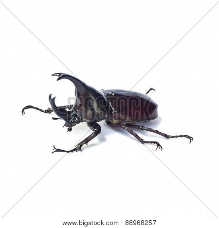 Rhinoceros Beetle, Rhino Beetle, Hercules Beetle
