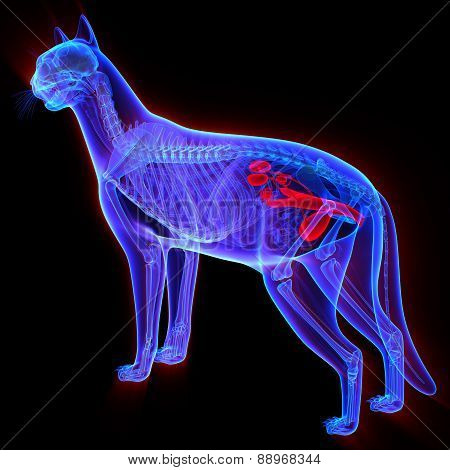Cat Urogenital System - Felis Catus Anatomy - Isolated On Black