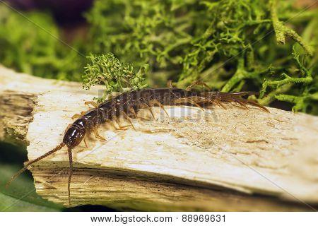 Chilopoda Subtype Myriapoda
