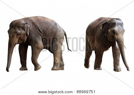 two elephants isolated with clipping path