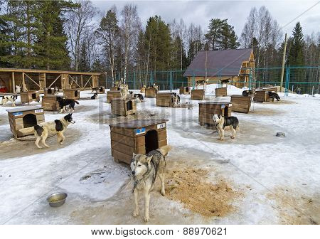 Dogs In Sled Dogs Farm In Karelia, Russia