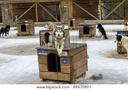 Dog Lying On The Roof Of His Kennel.