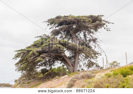 Old Wind-torn Pine Tree