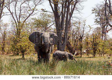 African Elephant Moremi Game Reserve, Okawango Delta