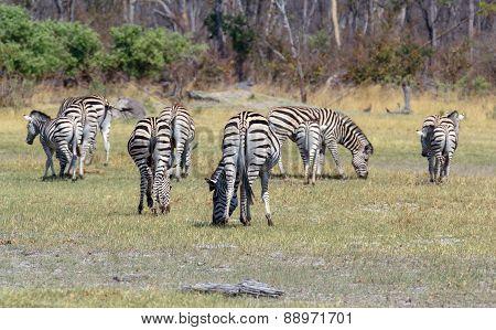 Zebras In African Bush