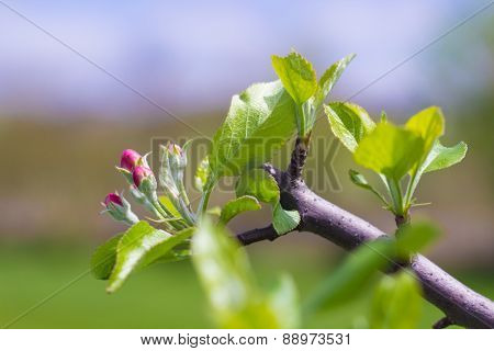 Blooming Apple Tree After Pruning