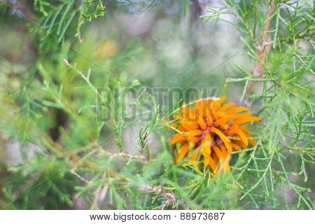Cedar Apple Rust Orange Fungi On Cedar Tree