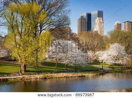 Central Park In Springtime, Blooming Yoshino Cherry Trees, New York