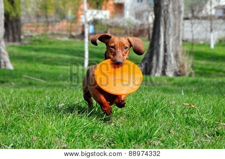poster of Dog breed standard smooth-haired dachshund, bright red color. Dog running with flying saucer. Dog pl