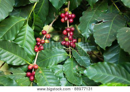 Ripe organic coffee beans on the tree