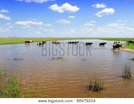 cows in the water