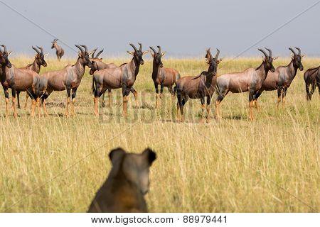 Lioness Watching Topi Antelope Herd