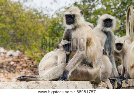 sweet langure apes family