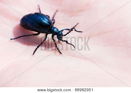 black oil beetle