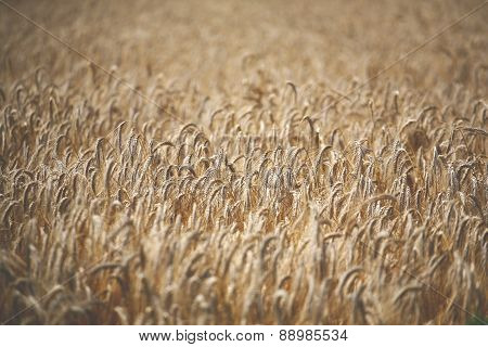 Wheat Field Full Of Ripe Wheat Heads