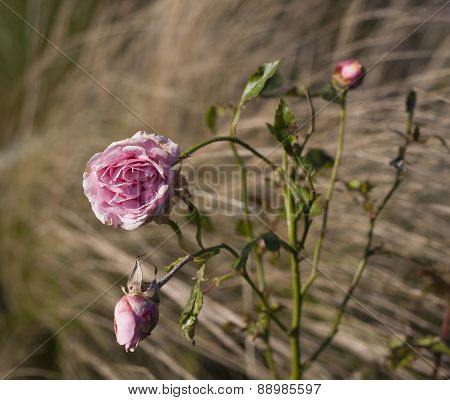 Pink Roses In Hectic Blurry Background