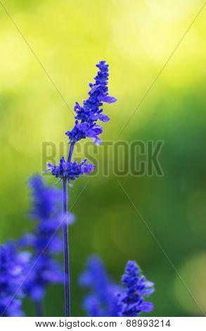 Blue Salvia (salvia Farinacea) Flower