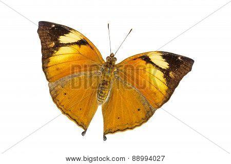 Isolated Autumn Leaf Butterfly (doleschallia Bisaltide)
